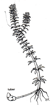 Botanical line drawing of a single Hydrilla plant